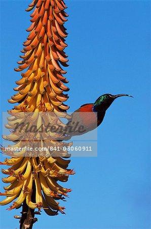 Une plus grande doublecollared sunbird (Nectarinia afra), plus grand parc National Addo, Afrique du Sud, Afrique