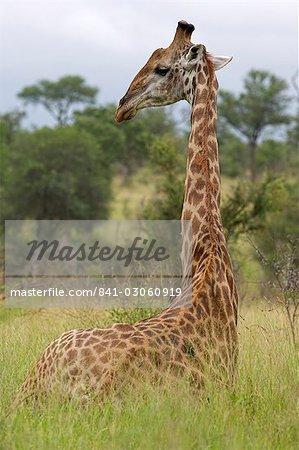 Giraffe, Giraffa camelopardalis, Kruger National Park, Mpumalanga, South Africa, Africa