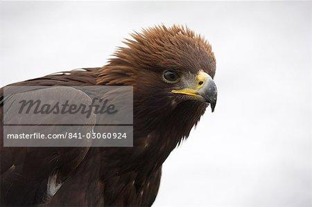 Golden eagle, Aquila chrysaetos, in snow, captive, United Kingdom, Europe