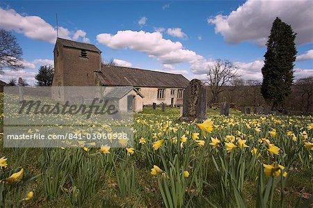 Jonquilles sauvages, pseudonarcissus Narcisse, au cimetière de St Anthony, Cartmel est tombé dans le Lake District, Cumbria, Angleterre, Royaume-Uni, Europe