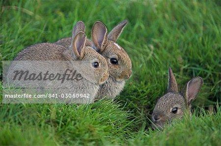 Junge Kaninchen (Oryctolagus Cuniculas), außerhalb der Burrow, Teesdale, County Durham, England, Vereinigtes Königreich, Europa