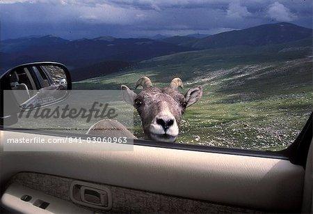 Mouflon en parcourant voiture fenêtre, Mont Evans, Colorado, États-Unis d'Amérique, l'Amérique du Nord