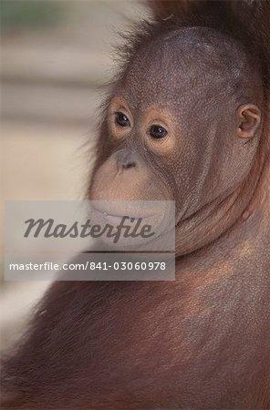 Bébé orang-outan, Bornéo, l'Asie du sud-est, Asie