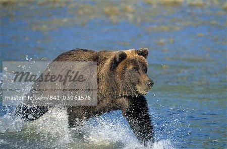 Côtières ours brun, Ursus arctos, Lake Clark National Park, Alaska, États-Unis d'Amérique, l'Amérique du Nord