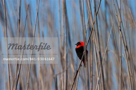 Red Bishop, Euplectes orix, West Coast National Park, South Africa, Africa