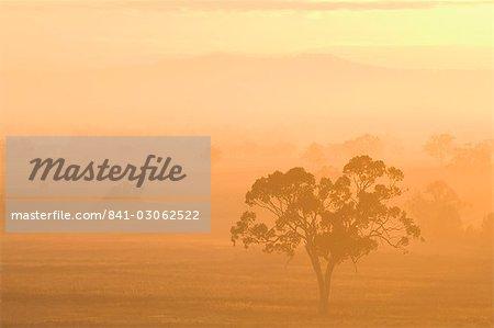 Eucalyptus tree and morning fog, Carroll, New South Wales, Australia, Pacific