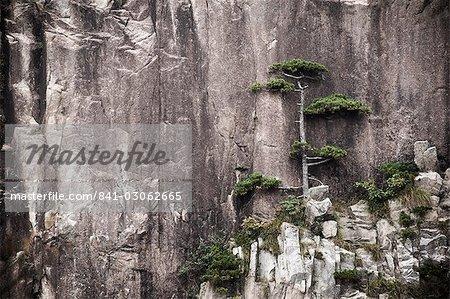 Pine tree, White Cloud Scenic Area, Mont Huangshan (Yellow Mountain), patrimoine mondial de l'UNESCO, la Province d'Anhui, Chine, Asie