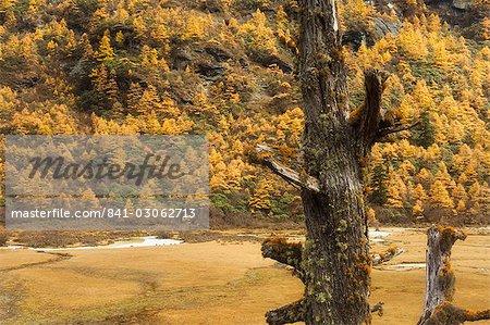 Mélèzes en couleurs d'automne, la réserve naturelle de Yading, Province du Sichuan, Chine, Asie