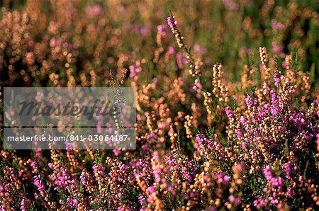 Bruyère (Calluna vulgaris), sur les pentes du Parc National de Yorkshire Dales, Yorkshire, Angleterre, Royaume-Uni, Europe