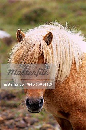 Shetland Pony, Shetland Islands, Schottland, Vereinigtes Königreich, Europa