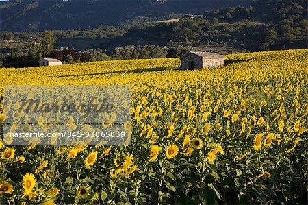 Tournesols, Provence, France, Europe