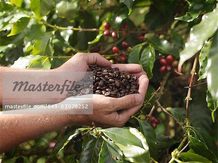 Mains tenant des grains de café torréfiés