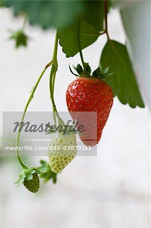 Reife und unreife Erdbeeren auf Glasfuß