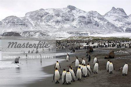 King Penguins, South Georgia Island, Antarctica