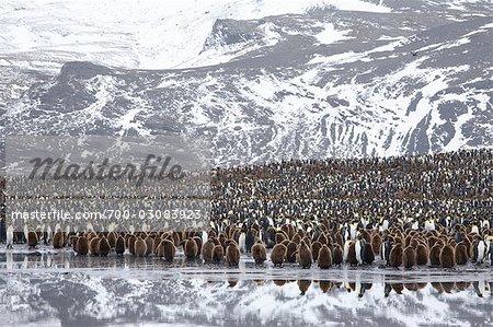 King Penguin Colony, South Georgia Island, Antarctica