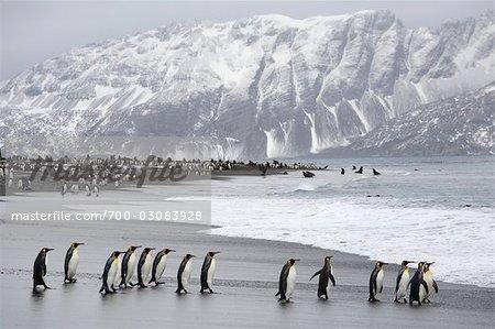 King Penguins on Beach, South Georgia Island, Antarctica
