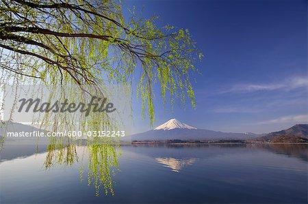 Saule de printemps au lac Kawaguchi, le Mont Fuji dans le fond, Japon