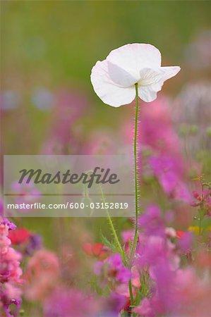 Maïs Poppy, Franconie, Bavière, Allemagne