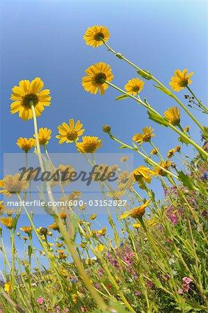 Yellow Flowers, Franconia, Bavaria, Germany