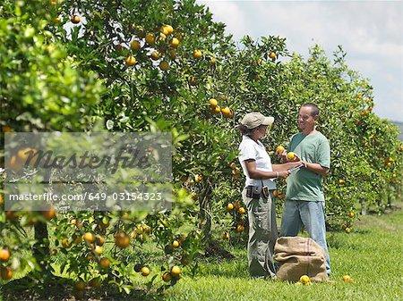 Travailleurs masculins et féminins, cueillette des Oranges