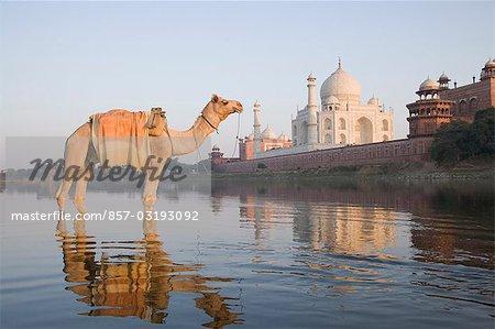 Camel in the river with a mausoleum in the background, Taj Mahal, Yamuna River, Agra, Uttar Pradesh, India