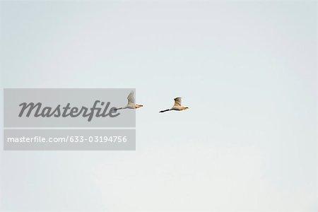 Paire de noir à col cygne (Cygnus melancoryphus) en vol