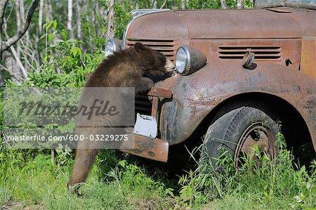 Ours noir regardant le vieux camion, Minnesota, USA