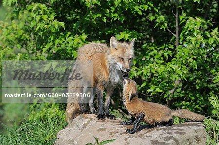 Le renard roux américain Pup, Minnesota, États-Unis