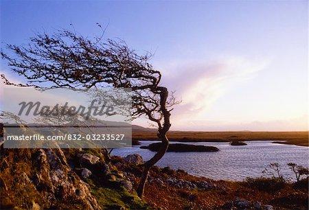 Connemara, Co. Galway, Irland; Windblown Baum