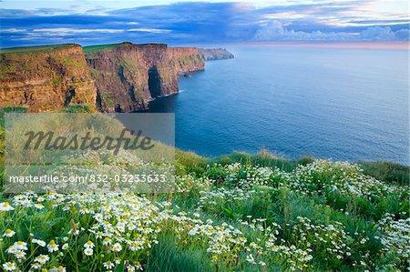 Falaises de Moher, Co Clare, Irlande ; Marguerites d'été de plus en plus en abondance sur le sommet de la falaise