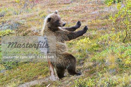 Grizzli, le Parc National Denali et Preserve, Alaska, USA