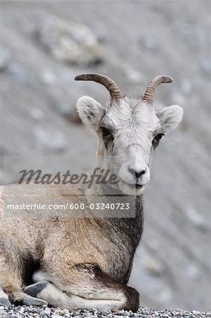 Portrait de mouflons de Stone, Parc Provincial de Stone Mountain, en Colombie-Britannique, Canada