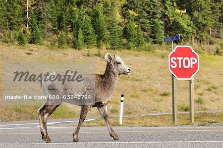 Mouflon, Parc Provincial Peter Lougheed, Alberta, Canada