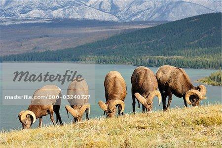 Groupe de Bighorn Sheep nourrir près de lac Talbot, Parc National Jasper, Alberta, Canada
