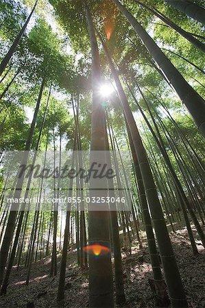 Bamboo forest, Sagano, Kyoto, Japon
