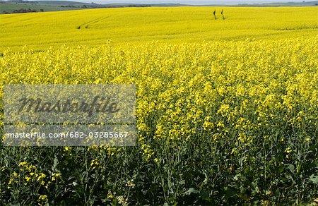 Jaune des champs de Canola près de Caledon, Western Cape