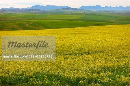 Vue lointaine de champs de Canola (colza), région d'Overberg, Province occidentale du Cap, en Afrique du Sud