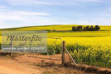 Vue des champs de Canola (colza) et ferme, région d'Overberg, Province occidentale du Cap, en Afrique du Sud