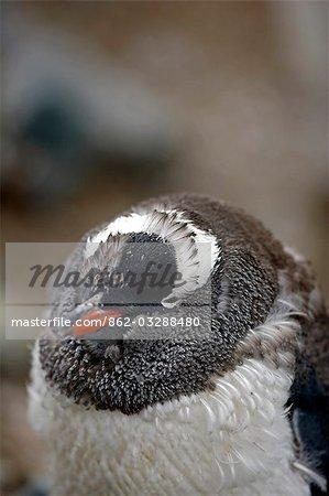 L'Antarctique, la péninsule Antarctique, Paradise Harbour. Un poussin manchot (Pygoscelis papua) se dégage de ses plumes bas dans plummage countershaded chez les adultes.