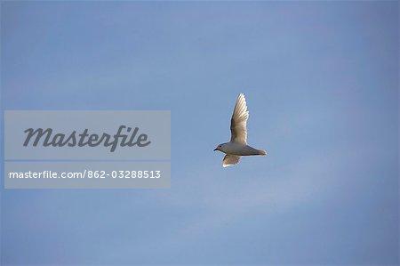L'Antarctique, la péninsule Antarctique. Les rares Snow Petrel (Pagodroma nivea) en vol contre la toile de fond de ciel bleu clair.