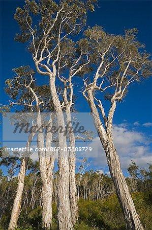Arbres d'eucalyptus dominent la plage au Point Coongul sur la côte ouest de l'île de Fraser.