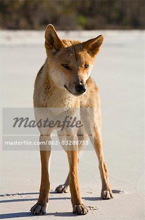 Un dingo (Canis familiaris). Le dingo est chien originaire de l'Australie, avec les dingos de l'île Fraser, considérée comme la plus pure race.