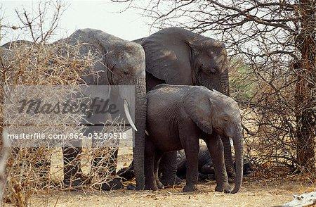 Groupe familial d'éléphants, Parc National de Chobe.