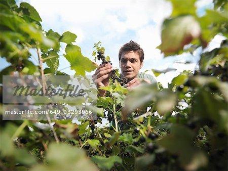 Homme inspectant cassis sur arbuste