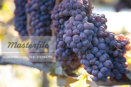 Gros plan des raisins sur la vigne, vallée de l'Okanagan, en Colombie-Britannique, Canada
