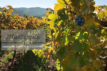 Ansicht der Weinberge im Herbst, Napa Valley, Kalifornien, USA