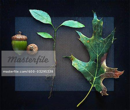Trois stades de croissance des arbres chêne avec des glands, des racines et des feuilles