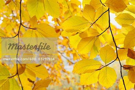Beech tree in Autumn, Spessart, Bavaria, Germany