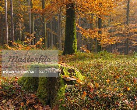 Baumstumpf mit Pilz in Buchenwald, Spessart, Bayern, Deutschland