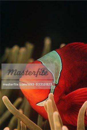Raja Ampat, Indonesia, Pacific Ocean, spinecheek anemonefish (Premnas biaculeatus), close-up